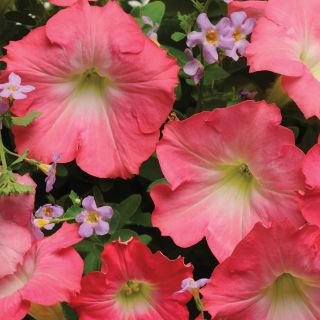 Easy Wave Rosy Dawn Petunia Thumbnail