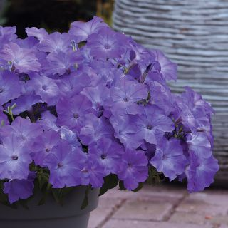 Easy Wave Lavender Sky Blue Petunia Thumbnail