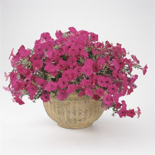 Tidal Wave Purple Petunia Thumbnail