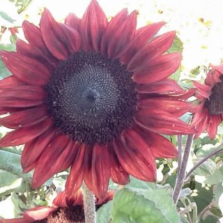 Pro-Cut Red Sunflower Thumbnail