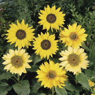 Pacino Mix Sunflower Thumbnail