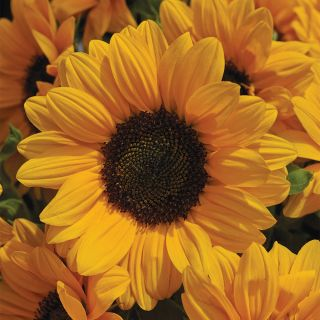 Vincents Choice Sunflower Thumbnail
