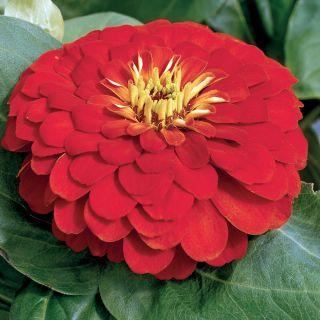 Magellan Scarlet Zinnia Thumbnail