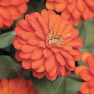 Zahara Double Fire Zinnia Thumbnail