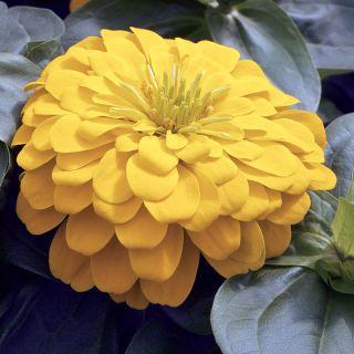 Magellan Yellow Zinnia Thumbnail