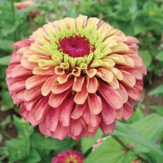 Queen Lime Red Zinnia Thumbnail