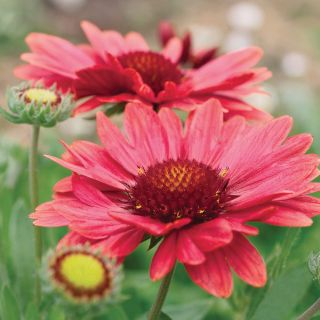 Arizona Red Shades Gaillardia Thumbnail