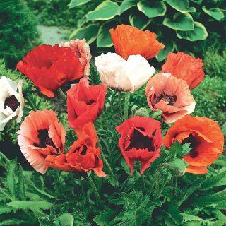 Pizzicato Poppy Thumbnail