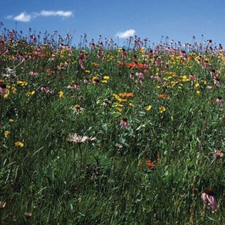 Drought Tolerant Mix Wildflowers Thumbnail