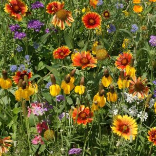 Western Mix Wildflowers Thumbnail