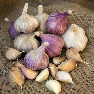 Fall Garlic Collection 1 Thumbnail