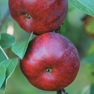 Novamac Apple Thumbnail