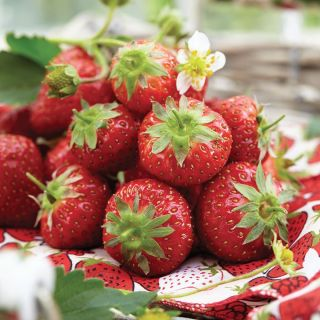 Sable Strawberry Thumbnail