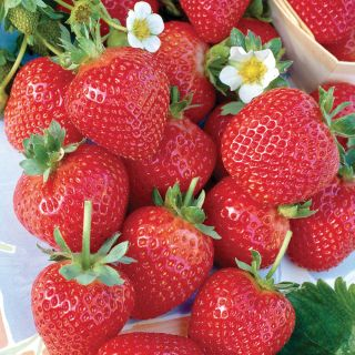 Albion Everbearing Strawberries (Pkg of 12) Thumbnail