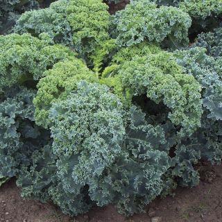Darkibor Organic Kale Thumbnail