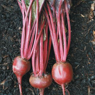 Bulls Blood Beet/Green Thumbnail
