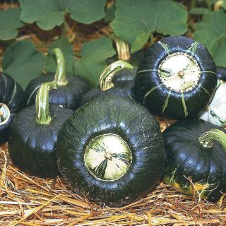 Burgess Buttercup Winter Squash Thumbnail