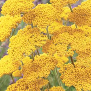 Coronation Gold Yarrow Thumbnail