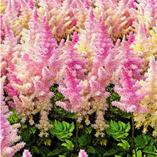 Italian Ice Cream Astilbe Thumbnail