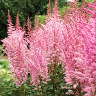 Mighty Pip Plume Astilbe Thumbnail