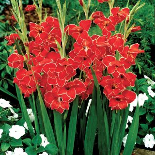 Atom Hardy Gladiolus Thumbnail