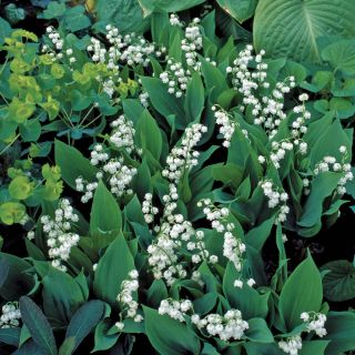 White Lily of the Valley Thumbnail