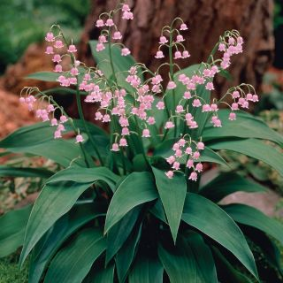 Pink Lily of the Valley Thumbnail
