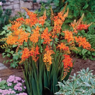 Saffron Fire Flowers Crocosmia Thumbnail