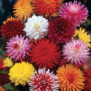 Cut Flower Dahlia Mix (Pkg of 3) Thumbnail