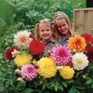 Dinner Plate Dahlia Mix (Pkg of 3) Thumbnail