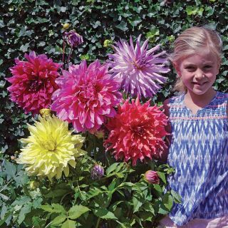 Dinner Plate Dahlia Super Mix Thumbnail