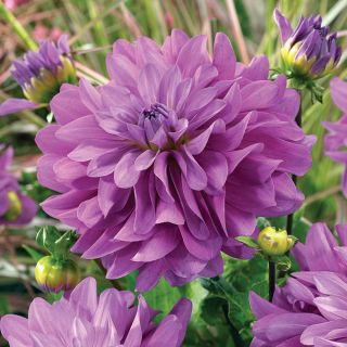Bluetiful Decorative Dahlia Thumbnail