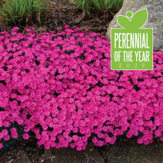 Paint the Town Magenta Dianthus Thumbnail