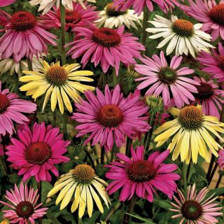Mixed Coneflowers Thumbnail