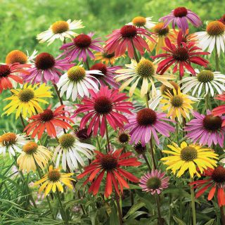 Coneflower Mix Thumbnail
