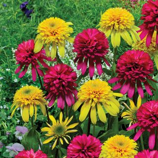 Cute As a Button Coneflower Blend Thumbnail