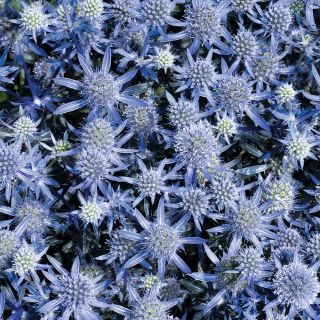 Blue Glitter Sea Holly Thumbnail