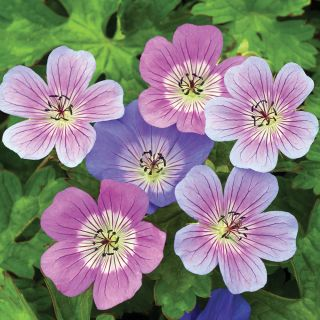 Pure Perfection Geranium Blend Thumbnail