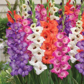 Glamini Gladiolus Border Mix Thumbnail