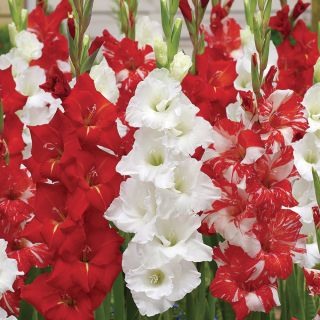 Glad to be Canadian Gladiolus Blend Thumbnail