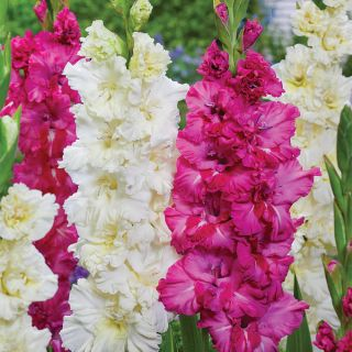 Frilly Willy Parrot Gladiolus Blend Thumbnail