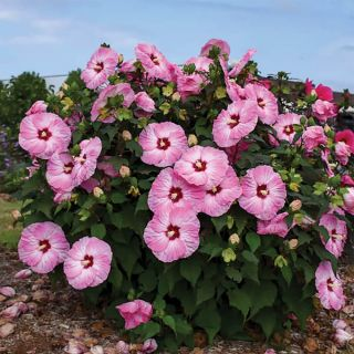 Spinderella Rose Mallow Thumbnail