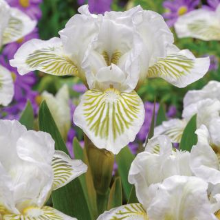 Snow Tree Iris Thumbnail