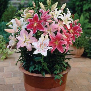 Dwarf Oriental Lilies Mix Thumbnail
