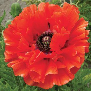 Poppies flowers and bulbs veseys eye catcher poppy mightylinksfo