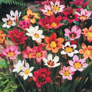 Harlequin Flowers Thumbnail