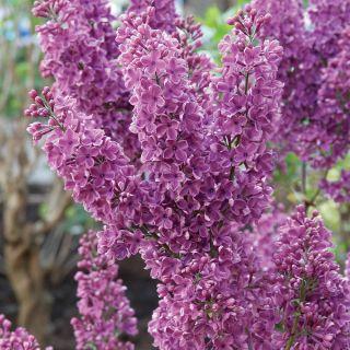 Bloomerang Purple Lilac Thumbnail