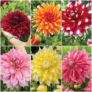 Dinner Plate Dahlia Collection Thumbnail
