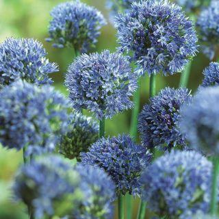 Blue Drumstick Allium Thumbnail