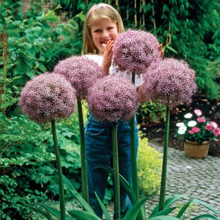 Globemaster Allium Thumbnail